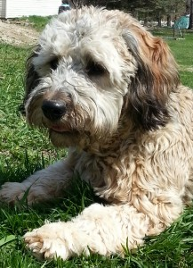 "Meet "" Ziggy "". Our handsome little man. Ziggy is a sable F1b English Mini Goldendoodle. He is 15 inches high and 35lbs., is parti factored, and carries phantom. He is health tested for hips, elbows, heart, eyes, DM, GRPRA1, GRPRA2, PRCD, Ich, MD, NEwS, vWD1, and OCD. His color code is BBEE, ay/at, ky/ky."