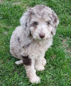 "Meet KFF's ""Hazel Grace"". She is a rare chocolate merle Mini English Goldendoodle. We have waited a long time to add such a beautiful girl to our program. She will is the future mom of our merle colored puppies. Her color code is bbEe and she carries parti."