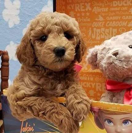 """Meet Cedar Lake Doodles """" McKensie """". McKensie is a multigen mini goldendoodle. She is a future mom and daughter of Ruby, so we know that she will have sweet and beautiful babies."""