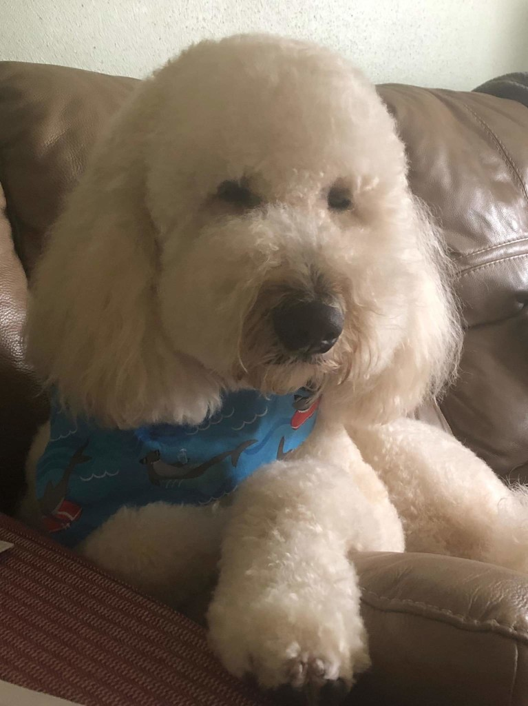 Paxton is an English cream standard goldendoodle.