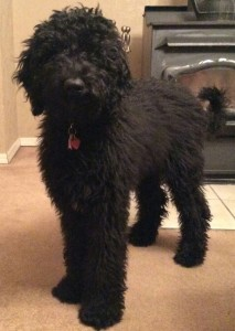 "Meet Cedar Lake Doodles ""Lacey"". She is an F1b English standard goldendoodle. We expect gorgeous puppies from her, in a rainbow of colors. Chocolate, cream, red, and black. She is 44 lbs. and stands 24"" high. She is health tested for hips, elbows, heart, eyes, DM, MD, GRPRA 1, GRPRA 2, PRCD,  NeWS, vWD1, and Ich. She is parti factored and her color code is BbEe."