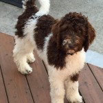 "Meet Cedar Lake Doodles "" Sammi "". She is a Multigen Medium Parti Goldendoodle. She is 25 inches high and weighs 55lbs.  Her color code is bbEe, and she is health tested for Hips, Elbows, Patellas, Heart, Eyes, DM, GRPRA1, GRPRA2, PRCD, Ich, MD, NEwS, and vWD1."