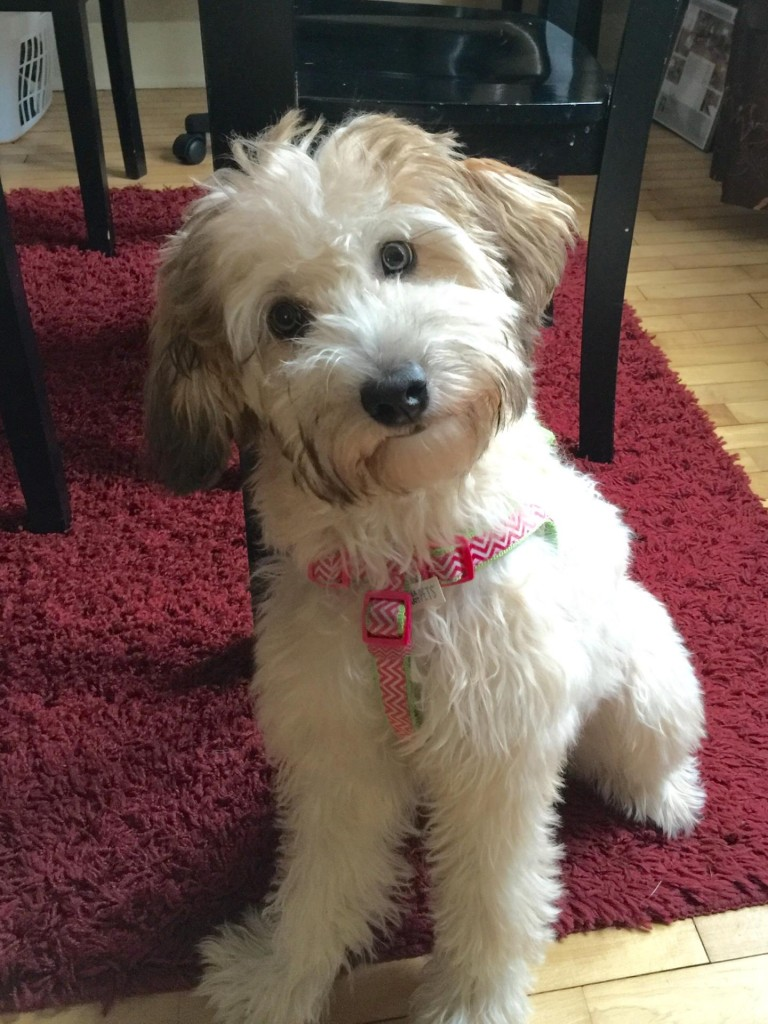 "Meet Cedar Lake Doodles ' Lilly "". She is a fawn sable F3 English Petite Goldendoodle. She carries all colors of sable, phantom, and is parti factored. She is 16 inches high and weighs 20lbs. Her color code is BBEe and she is health tested for Hips, elbows, heart, eyes, patellas, DM, GRPRA1, GRPRA2, PRCD, Ich, MD, NEwS, and vWD1."