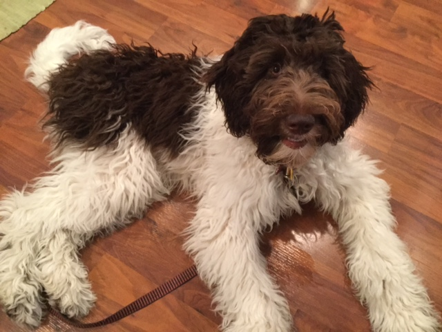 "Meet Cedar Lake Doodles "" Pixie "". She is a Multigen Medium chocolate and white Parti Goldendoodle. She is 22 inches high and 35lbs. and has mini and medium puppies in a variety of colors. Her color code is bbEe and she is health tested for hips, elbows, heart, patellas, eyes, DM, GRPRA1, GRPRA2, PRCD, Ich, MD, NEwS, and vWD1."