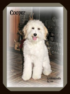 "Meet "" Cooper "". He is a petite f1b apricot and white parti goldendoodle. Thank you Janece from Goldendoodle Acres for letting us borrow this sweet little boy!"