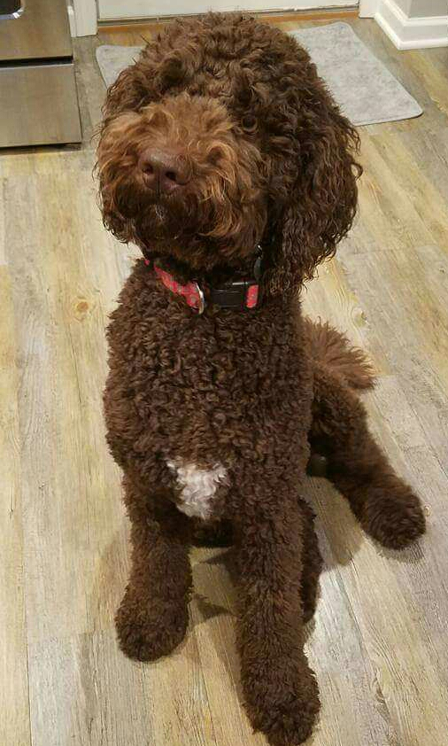 """Meet MVGD's """" Porter """". He is an English F1b chocolate standard Goldendoodle. He is 24 inches high, 60lbs.,parti factored, IC clear, and his color code is bbEe, ay/ay, ky/kb. He is health tested for hips, elbows, heart, eyes, patellas, DM, GRPRA1, GRPRA2, PRCD, Ich, MD, NEwS, and vWD1. He has such a great laid back English temperament, and will add a lot of chocolate to our future puppies."""