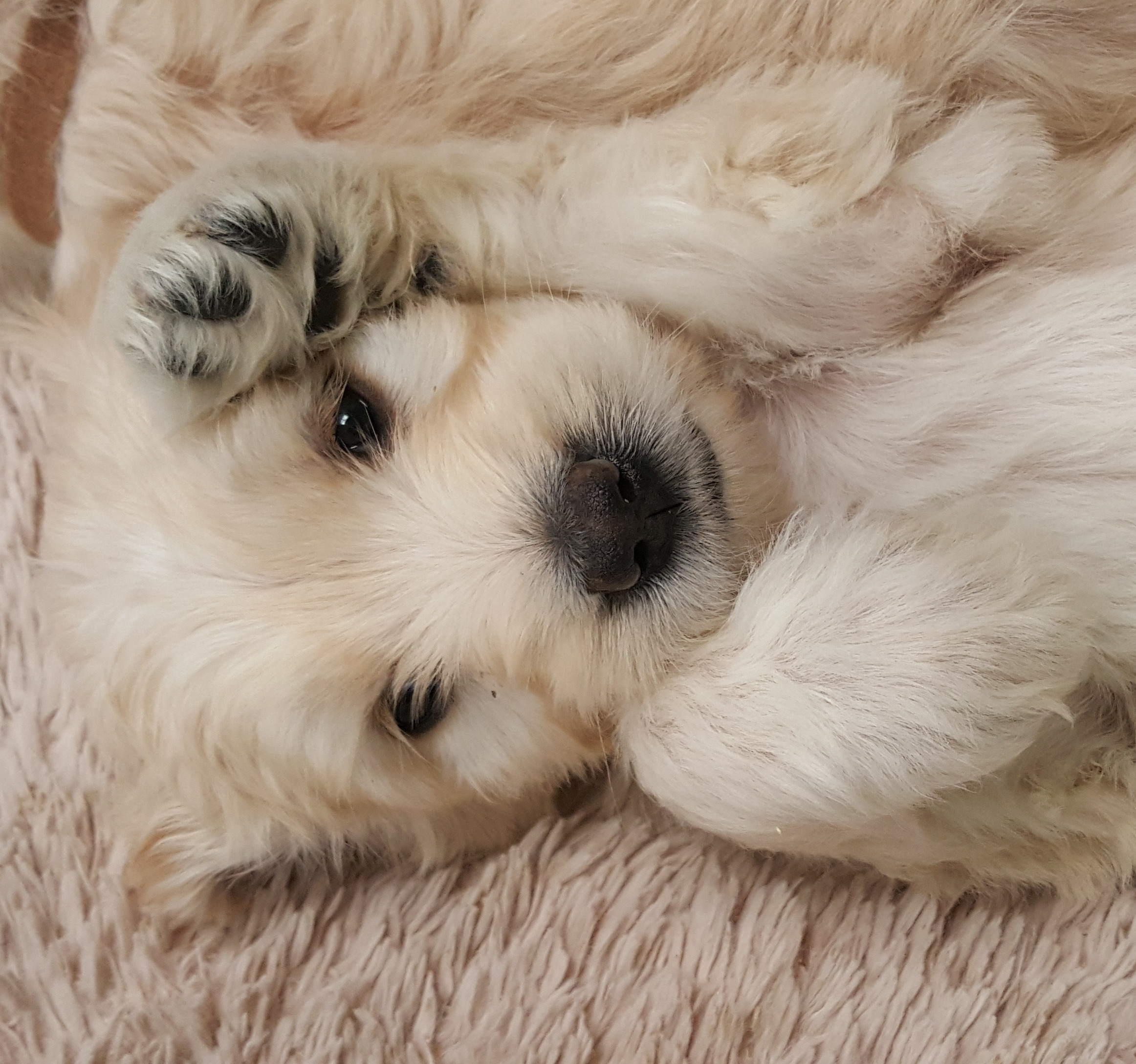 We are looking for a guardian home for this girl. She is an English cream standard goldendoodle.