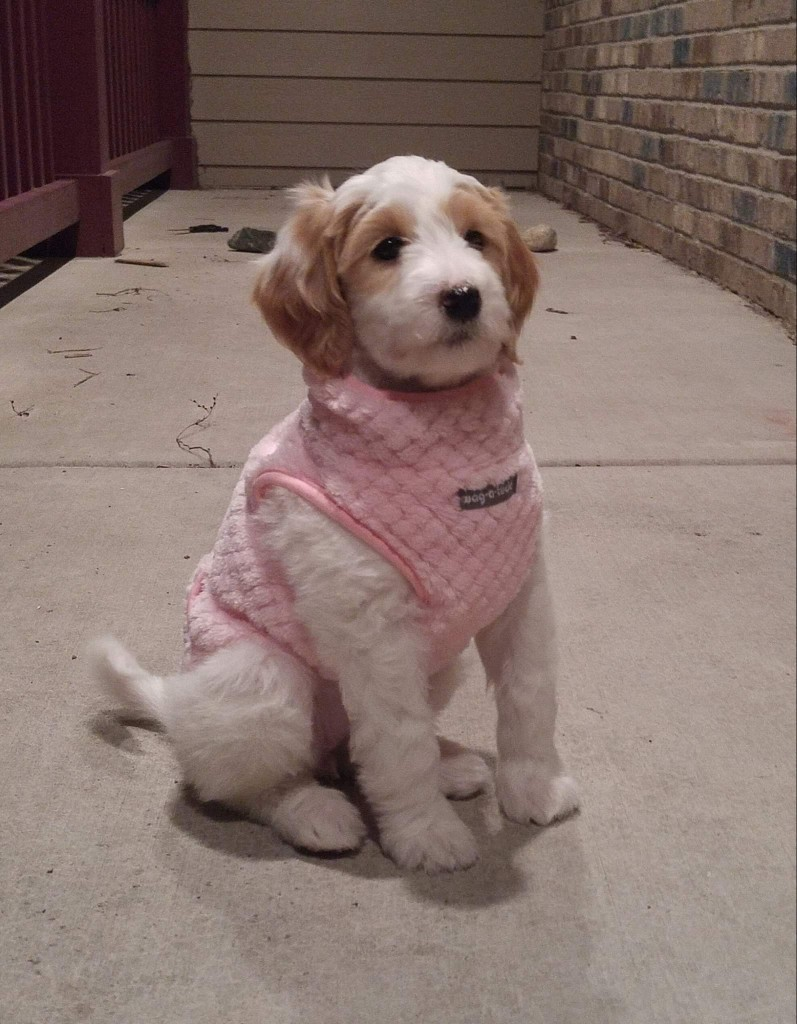"Meet Cedar Lake Doodles "" Kira "". Kira is a Multigen Mini Goldendoodle. She is a future mom who will give us sweet parti puppies in a variety of colors."
