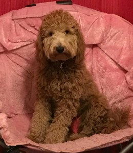 "Meet "" Ruby "" of Farmer Doodles. She is a red multigen mini goldendoodle. She is 29lbs. and 18 inches high. We are so excited to have her. She is a future mom who will bring us puppies in shades of reds and apricots. She is health tested for hips, elbows, heart, eyes, patellas, DM, MD, Ich, GRPRA1, GRPRA2, PRCD, NEwS, and vWD1."