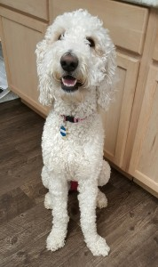 "Meet Cedar Lake Doodles "" Piper "". She is a Multigen English cream standard Goldendoodle. She is a future mom who will give us big, gorgeous, English cream puppies with very laid back temperaments. She is health tested for hips, elbows, heart, patellas, eyes, DM, GRPRA1, GRPRA2, PRCD, Ich, MD, NEws, and vWD1. She is 55lbs and 27 inches high."
