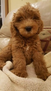 "Meet ""Siena"" of Ryan's Goldens. Siena is a red F1 Mini Goldendoodle. She is a future mom that will give us beautiful red puppies, in a fun mini size."