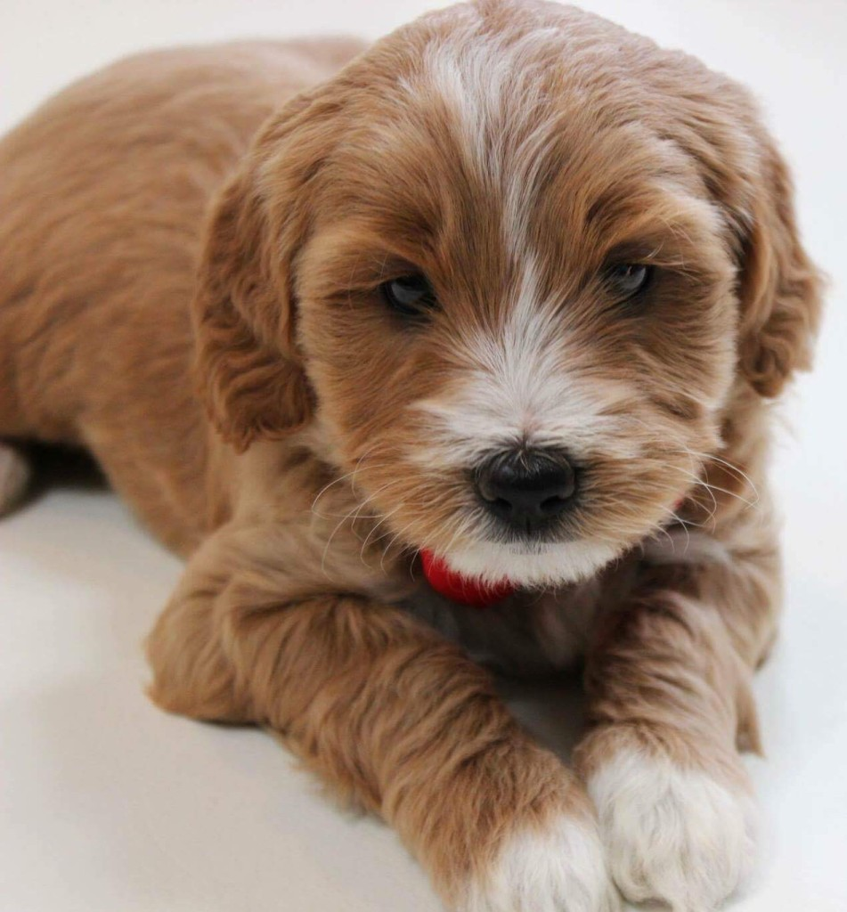 "Meet DoodleDee's "" Murphy "". He is an F1b English Mini Goldendoodle. He will bring us such fun mini sized puppies in shades of creams to reds."