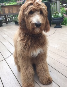 "Meet Red Royal's Miss "" Marley "". Marley is a F1b Red Standard Goldendoodle. She is a super laid back girl who gives us puppies in shades of red and apricot. She weighs 63lbs, is 26 inches high, and is also parti factored. She is health tested for hips, elbows, heart, eyes, patellas, DM,GM2, NEwS, OCD, PRCD,  vWD1, vWD2, SAN, GRPRA1, GRPRA2, Ich, and DEB."