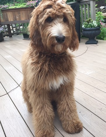 "Meet Red Royal's Miss "" Marley "". Marley is a F1b Red Standard Goldendoodle. She is a future mom who will give us puppies in shades of red and apricot. She weighs 63lbs, is 26 inches high, and is also parti factored. She is health tested for hips, elbows, heart, eyes, patellas, DM,GM2, NEwS, OCD, PRCD,  vWD1, vWD2, SAN, GRPRA1, GRPRA2, Ich, and DEB."