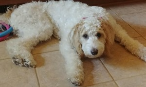 "Meet Cedar Lake Doodles "" Kira "". Kira is a Multigen Mini Goldendoodle. She is a future mom who will give us sweet parti puppies in a variety of colors. She is 26lb. and stands 19 inches high. Her color code is Bbee, and she is health tested for hips, elbows, eyes, heart, patellas, DM, MD, Ich, NEwS, GRPRA1, GRPRA2, PRCD, and vWD1."