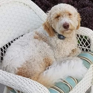 "Meet MSR's "" Scooby Doodle "". He is an English F1b Standard Parti Goldendoodle. He will give us beautiful puppies, in a rainbow of colors, with very sweet, laid back temperaments. He is 25 inches high and weighs 55lbs.  His color code is bbee, and is health tested for hips, elbows, eyes, heart, patellas, DM, GRPRA1, GRPRA2, PRCD, Ich, MD, NEwS, and vWD1."