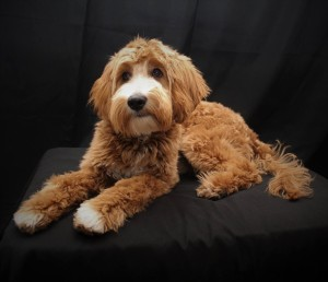 "Meet DoodleDee's "" Murphy "". He is an F1b English Mini Goldendoodle. He will bring us such fun mini sized puppies in shades of creams to reds. He is health tested for hips, elbows, heart, eyes, patellas, OCD, GM2, DM, GRPRA1, GRPRA2, PRCD, Ich, MD, NEwS, and, vWD1. His color code is BBee. He weighs 25lbs and stands 16 inches high."