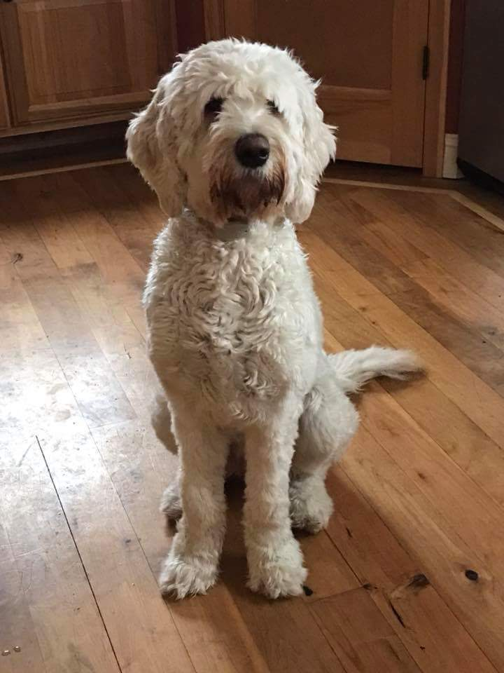 "Meet Cedar Lake Doodles "" Josie "". Josie is a Multigen English Cream Standard Goldendoodle. She is a future mom of beautiful cream babies. Her color code is BBee, she is 68lb. and stands 25 inches high. She is health tested for hips, elbows, heart, eyes, patellas, DM, MD, GRPRA1, GRPRA2, PRCD, NEwS, vWD1, and Ich."