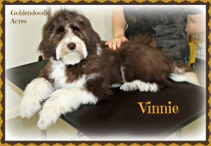 Vinnie is a borrowed stud from Goldendoodle Acres. He is a chocolate and white tuxedo goldendoodle. He is fully health tested and is 29lbs. Thank you Janece for letting me borrow this handsome boy!