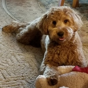 """Meet """"Siena"""" of Ryan's Goldens. Siena is a red F1 Mini Goldendoodle. She is a future mom that will give us beautiful red puppies, in a fun mini size. She is 16 inches high and weighs 26lbs. She is health tested for hips, elbows, heart, eyes, patellas, DM, GR-PRA1, GR-PRA2, Ich, MD, NEwS, prcd-PRA, and vWD1."""