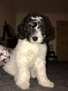 """Meet Cedar Lake Doodles """"Reggie"""". Reggie is an English Mini Tri-colored Goldendoodle. He is phantom and parti, and will give us beautiful puppies. He will also be the father to our future sheepadoodles.  BbEE, kyky, atat."""