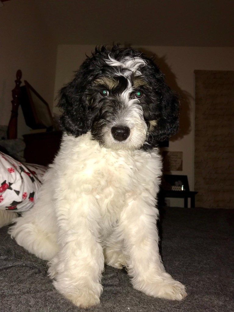 "Meet Cedar Lake Doodles ""Reggie"". Reggie is an English Mini Tri-colored Goldendoodle. He is phantom and parti, and will give us beautiful puppies. He will also be the father to our future sheepadoodles.  BbEE, kyky, atat."