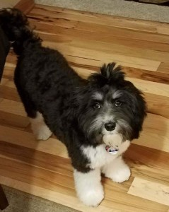 """Meet Cedar Lake Doodles """"Amber"""". Amber is a Mini English Multigen Goldendoodle. She is a phantom tuxedo who will have a rainbow of colors and patterns in her puppies. She is 17 inches high and 24lbs., BbEE, kyky atat."""