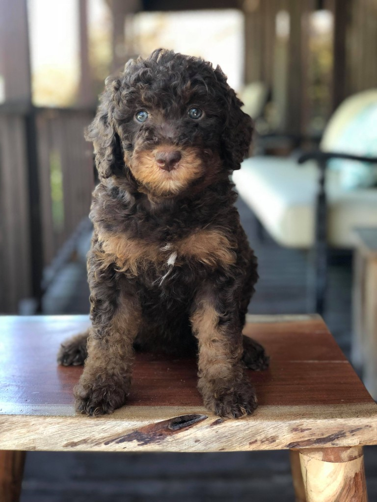 "Meet Candy Doodles Sweet ""Reece's"". Reece is a mini multigen chocolate phantom goldendoodle. She is a future mom that will give us amazing mini and puppies in all colors and patterns. Her color code is bbEe, atat, kyky,."