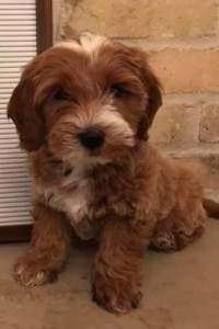 "Meet Blessed Day Doodles "" Radda "".  Radda is a petite red abstract goldendoodle. He is a future stud who will bring us petite and mini puppies. We are very excited to have him join the Cedar Lake Doodles family."