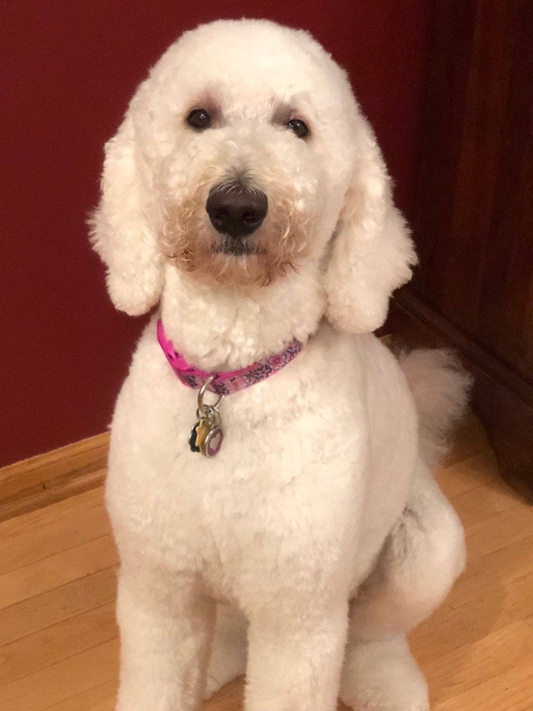 "Meet Cedar Lake Doodles "" Piper "". She is a Multigen English cream standard Goldendoodle. She is a wonderful mom who gives us big, gorgeous, English cream puppies with very laid back temperaments. She is health tested for hips, elbows, heart, patellas, eyes, DM, GRPRA1, GRPRA2, PRCD, Ich, MD, NEws, and vWD1. She is 55lbs and 27 inches high."