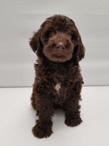 "Meet Goldendoodles by Ellie's sweet little "" Maui "". Maui is a Medium Multigen English Goldendoodle. She is a future mom who will have the sweetest chocolate babies. Her color code is bbEe, kykb, ata."