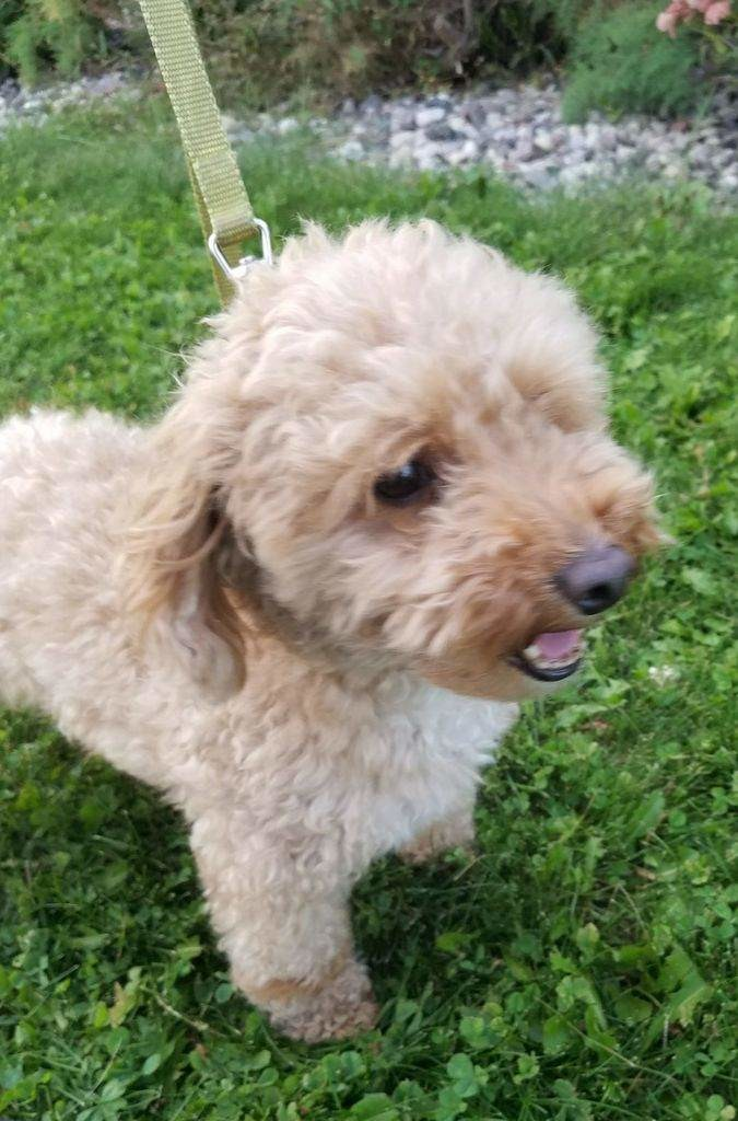 Tanner is a borrowed stud. He is a 10lb miniature poodle. He's such a sweet little thing. Thank you Karen for letting me borrow this sweet boy.
