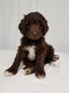 "Meet Cedar Lake Doodles ""Kona"". Kona is Medium English Multigen Goldendoodle. She is a beautiful wavy chocolate abstract. She is a future mom that will have lots of sweet chocolate puppies. Her color code is bbEE."
