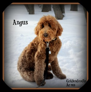 Angus is a borrowed stud from Goldendoodle Acres. He is fully health tested and 45lbs. Thank you Janece for letting me borrow this handsome boy.