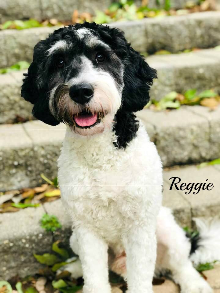 "Meet Cedar Lake Doodles ""Reggie"". Reggie is an English Mini Tri-colored Goldendoodle. He is phantom and parti, and will give us beautiful puppies. He will also be the father to our future sheepadoodles.  BbEE, kyky, atat. He is health tested for hips, elbows, heart, patellas, DM, GR-PRA1, GR-PRA2, Ich, MD, NEwS, prcd-PRA, and vWD1. He is 30lbs and 19 inches high."