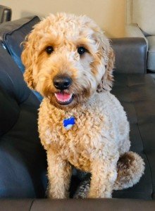 "Meet ""Siena"" of Ryan's Goldens. Siena is a red F1 Mini Goldendoodle. She is a future mom that will give us beautiful red puppies, in a fun mini size. She is 16 inches high and weighs 26lbs. She is health tested for hips, elbows, heart, eyes, patellas, DM, GR-PRA1, GR-PRA2, Ich, MD, NEwS, prcd-PRA, and vWD1. Her color code is BBee."