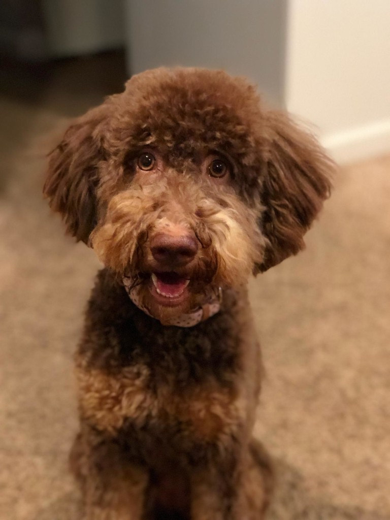 "Meet Candy Doodles Sweet ""Reece's"". Reece is a mini multigen chocolate phantom goldendoodle. She is a future mom that will give us amazing mini puppies in all colors and patterns. Her color code is bbEe, atat, kyky,."
