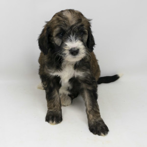 "Meet Wolf River's "" Nala"". Nala is a sable F1b Bernedoodle. She is the sweetest little girl and will be a future mom for our Bernedoodle puppies."