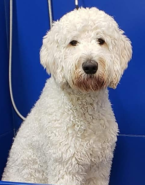 Dewey is a standard English cream goldendoodle.