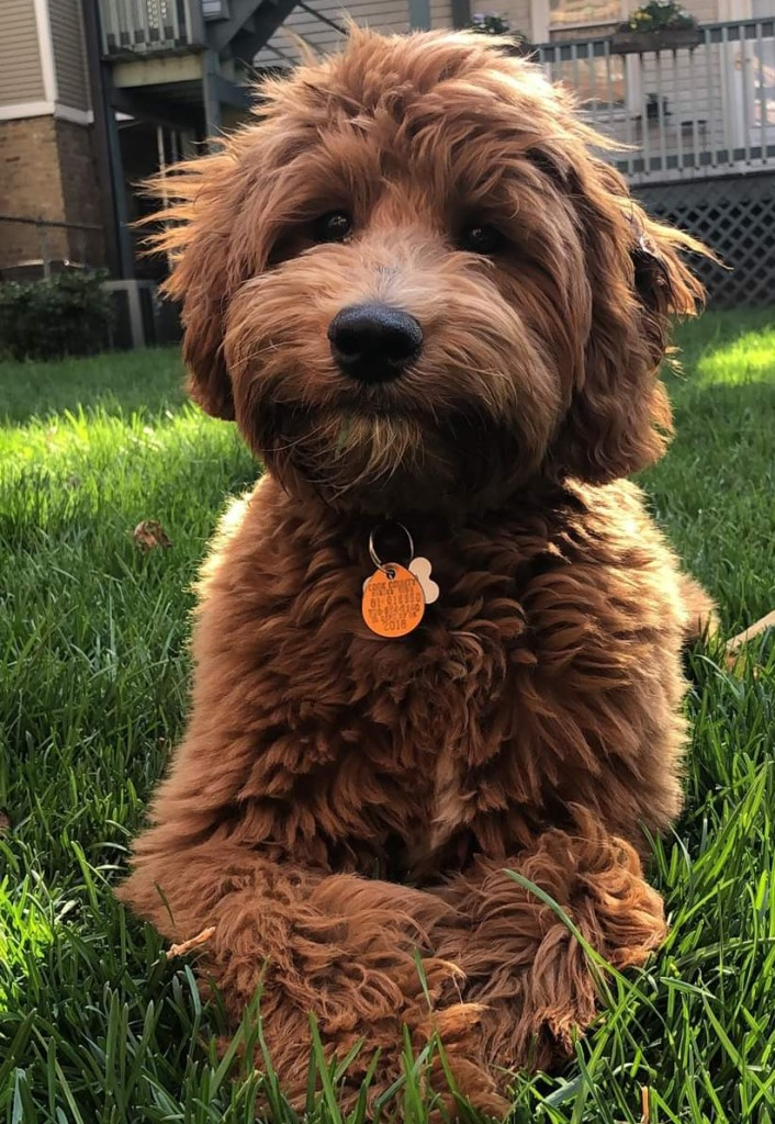 Ralph is a mini red goldendoodle.