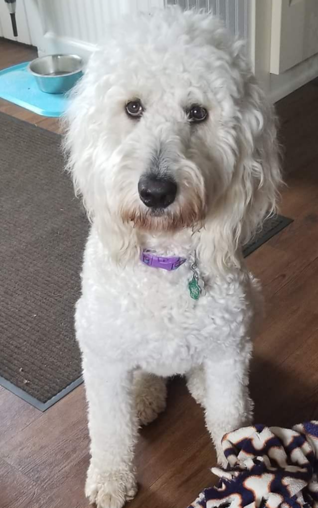 Skyy is an English cream standard goldendoodle.