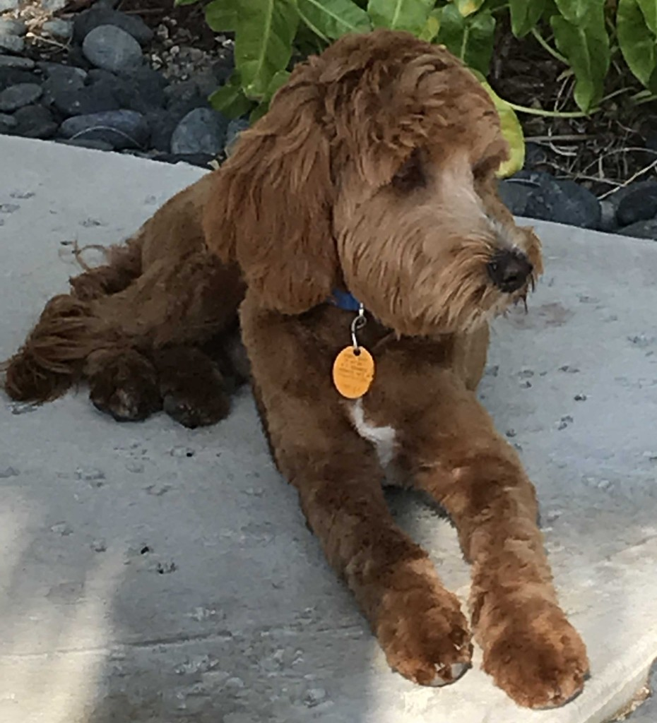 Alfie is a red mini goldendoodle.