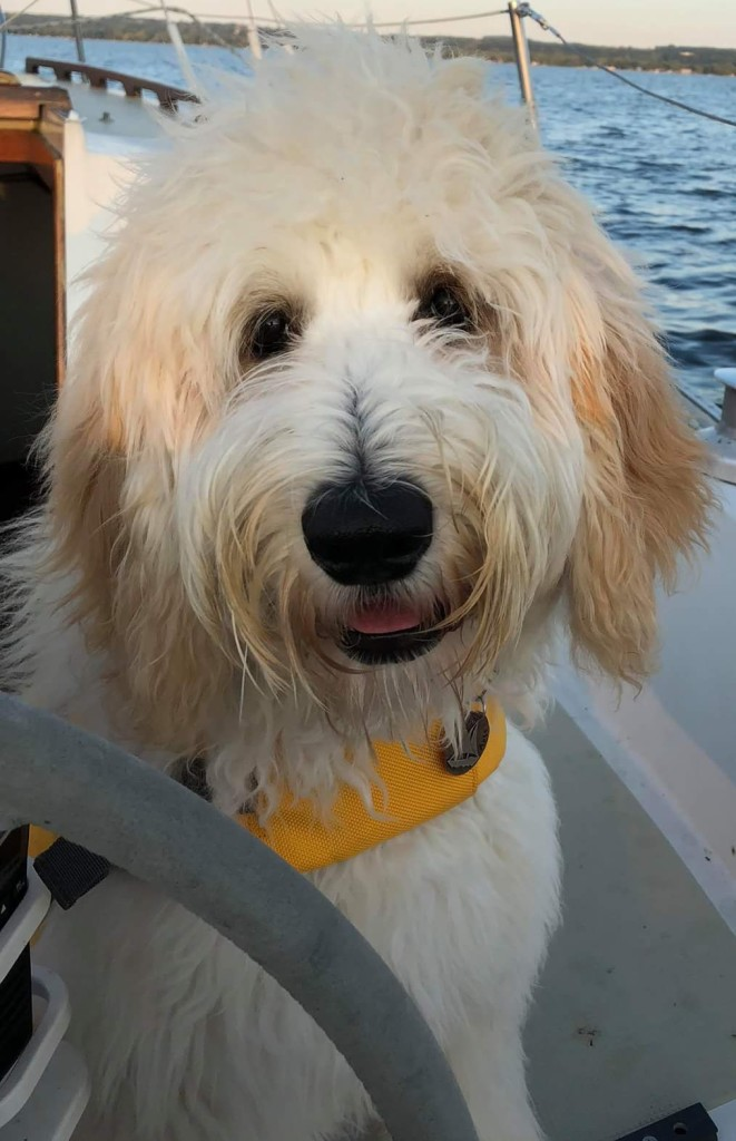Aria is an English cream standard goldendoodle.