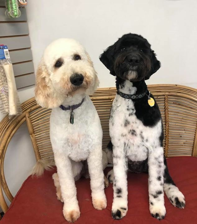 Lou is an English cream standard and Mowgli is a medium black and white parti.