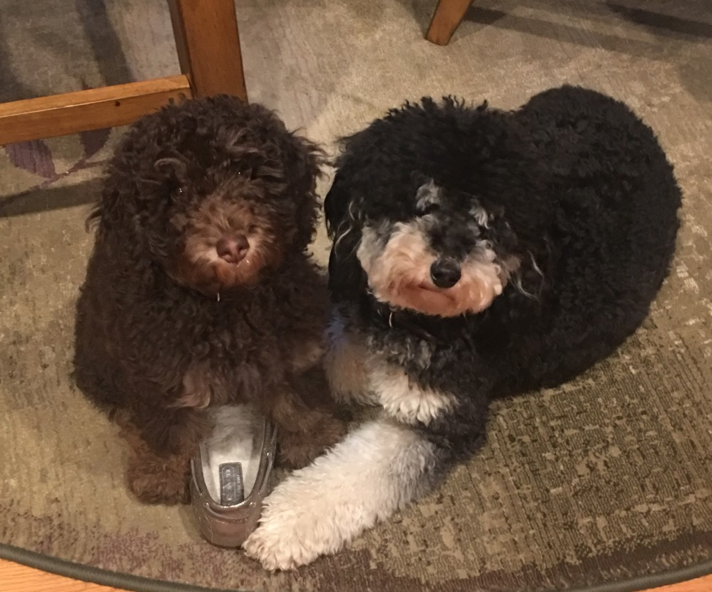 Chief is a petite chocolate phantom goldendoodle and Piper is a petite black phantom goldendoodle.