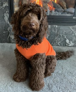 "Meet Goldendoodles by Ellie's sweet little "" Maui "". Maui is a Medium Multigen English Goldendoodle. She is has the sweetest chocolate babies. Her color code is bbEe, kykb, ata.  She is 20 inches high and 40lbs. She is health tested for hips, elbows, eyes, heart, patellas, DM, MD, Ich, prcd-PRA, GR-PRA1, GR-PRA2, vWD1, and NEwS."