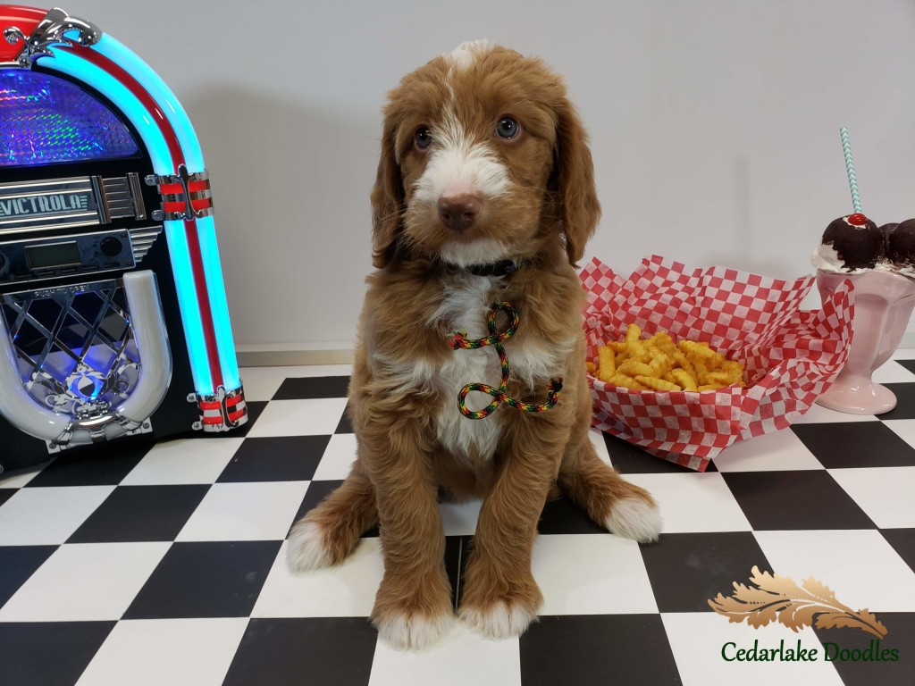 "Meet Cedar Lake Doodles ""Pennie"".  Pennie is a Multigen Medium Double Doodle."