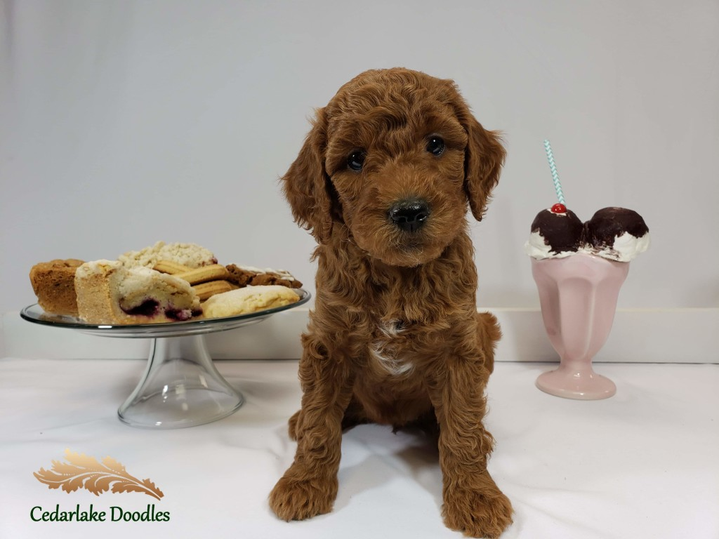"Meet Cedar Lake Doodles ""Lucille"" aka ""Lulu. Lulu is a Multigen Mini Goldendoodle."