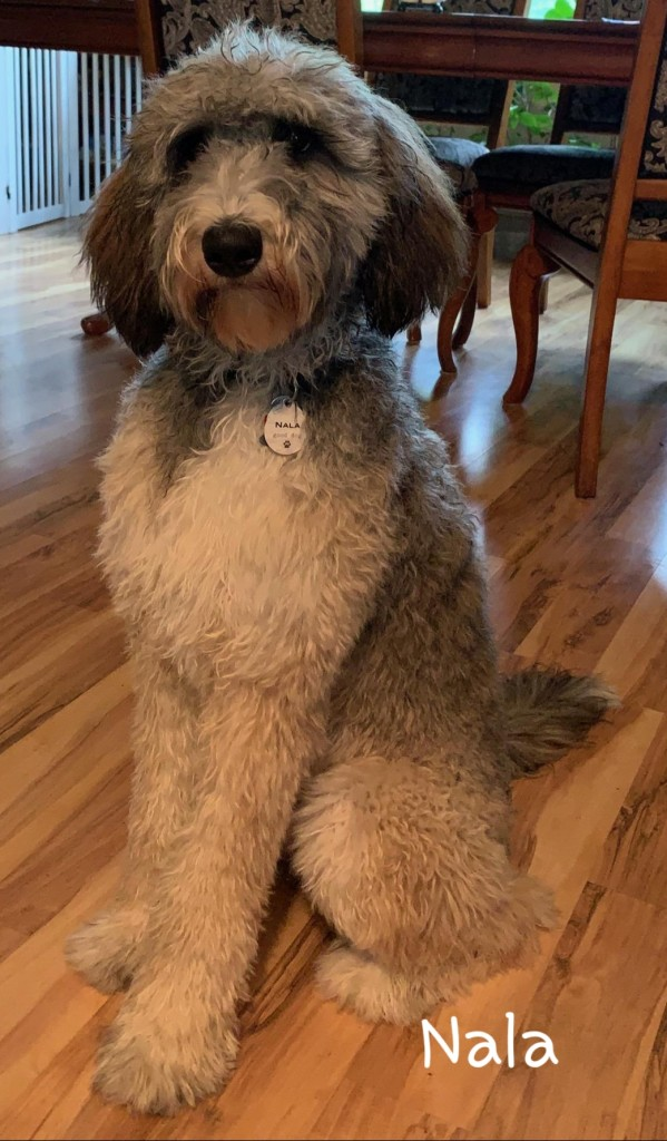 """Meet Wolf River's """" Nala"""". Nala is a sable F1b Bernedoodle. She is the sweetest little girl and will be a future mom for our Bernedoodle puppies. She is 34lbs, 20 inches high, and health tested for hips, elbows, heart, eyes, patellas, DM, GM2, NEwS, OCD, prcd-PRA, VWD1, and VWD2."""