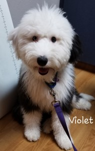 "Meet GVD's ""Violet"". Violet is an Old English Sheepdog and will be a future mom for our mini Sheepadoodles. She is 39lbs, 20 inches high, and health tested for hips, elbows, heart, eyes, patellas, DM, EIC, MDR1, and PCD. Her color code is atat kykb."
